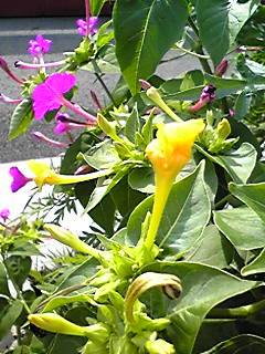 おしろい花