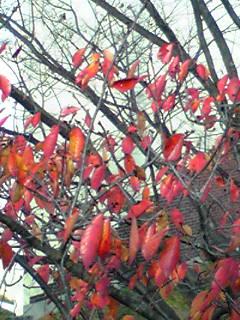これもサクラの葉?