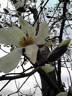 白木蓮(はくもくれん)とこぶしの花