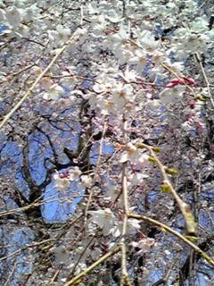 枝垂れ桜(しだれざくら)