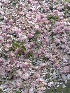 桜のじゅうたん!!