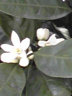 みかんの花が咲いてます!