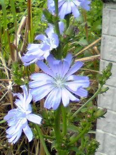 チコリの花と南天の花