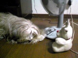 決定的扇風機犬ミント姫の図!