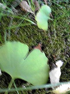 色づいたイチョウと銀杏の実