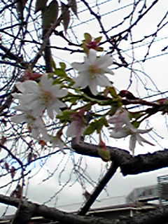 さくら、桜、サクラ