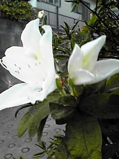 べ〜ッ!のミント姫と狂い咲きのツツジ