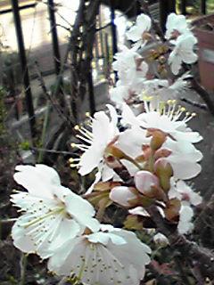 桜(サクラ)咲きましたよ〜♪