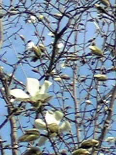 青空とこぶしの花