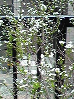 雪柳(ユキヤナギ)