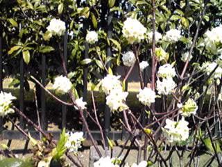 白い沈丁花です♪