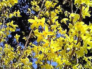 レンギョウ(連翹)の黄色☆