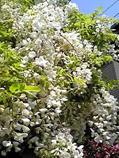 満開の白いフジ(藤)