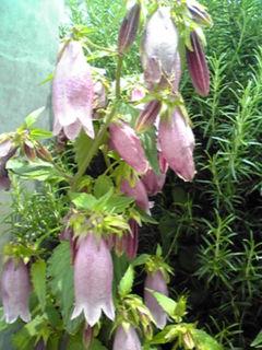 ホタルブクロ(提灯花)