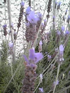 今朝のお花はラベンダー!