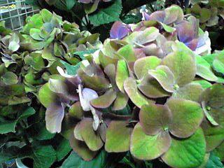 秋色紫陽花(あきいろあじさい)