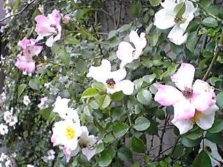 咲きはじめた王国のバラ♪