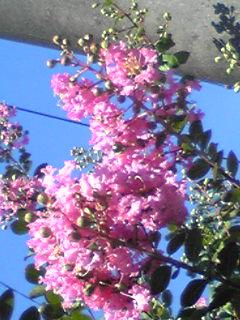 サルスベリ(百日紅)が咲き始めています!