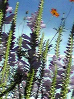 ハナトラノオ(花虎の尾)の薄紫