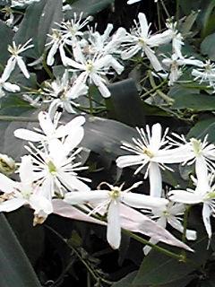 仙人草(センニンソウ)の輝く白