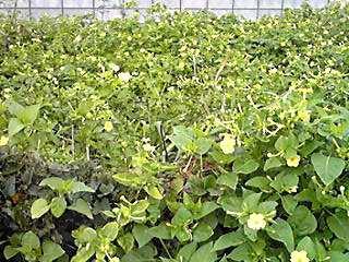 群生しているオシロイバナ(白粉花)