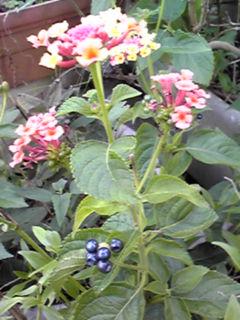 ランタナ(七変化)花と実