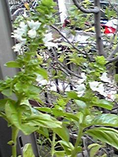 好きなんです…このバジルの白く小さな花が…