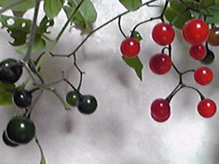 ヒヨドリジョウゴ(鵯上戸)の真っ赤な実
