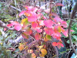 小さな紅葉(サルスベリ、百日紅)
