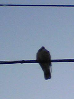 独りぼっちの山鳩