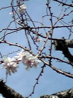 昨夜の余韻と10月桜をもう一度