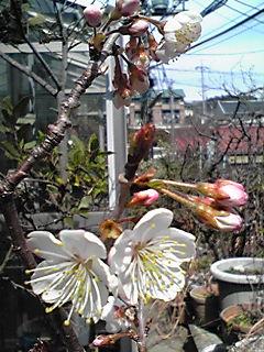 咲きましたよ!庭のさくらんぼの花も