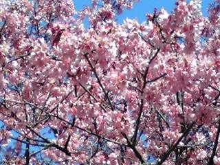 満開のおかめ桜を
