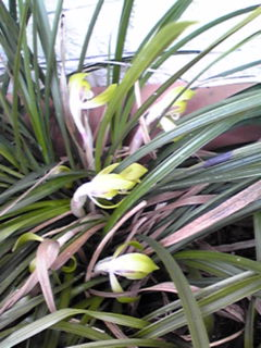 今朝のお花は春蘭(しゅんらん)です!