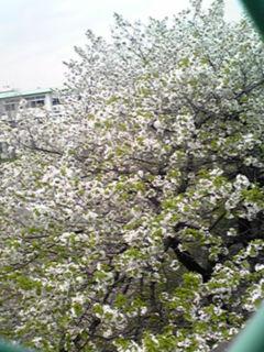 ヤマザクラ(山櫻)