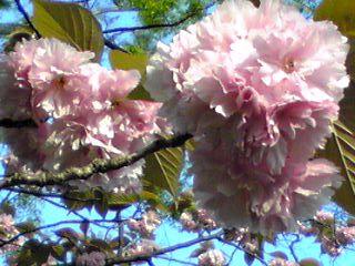 ぼたん桜(八重桜、里桜)