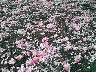 真っ赤な牡丹(ぼたん)と散りはじめたぼたん桜