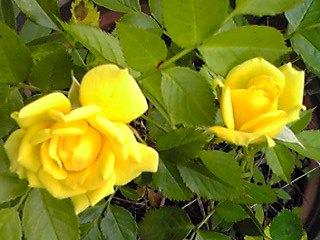 黄色いミニバラ復活〜♪