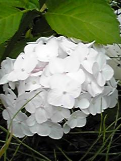 純白の紫陽花(アジサイ)