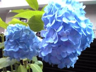 カラフル(紫陽花、アジサイ)