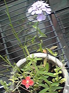 「幸せの種」王妃バージョン三種類目の花、咲いたよ♪