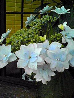 今夜も旬の紫陽花を…♪