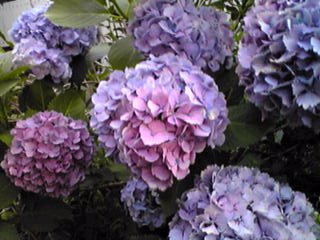 紫陽花らしい七変化