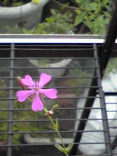 「幸せの種」王妃バージョンに5種類目の花が今日、咲いてくれましたよ♪