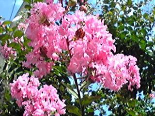 サルスベリ(百日紅)も夏の花