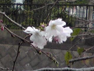2012年11月の直さん(高橋直純)です!/10月桜(冬桜)