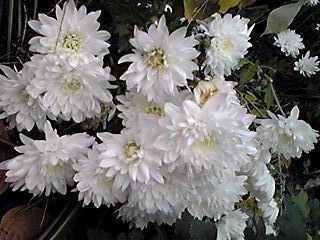 菊の花(キク)