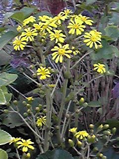 ツワブキ(石蕗)の花