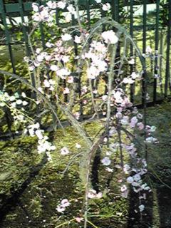 今の主役は梅の花(枝垂れ梅)