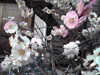 咲き分けの梅の花